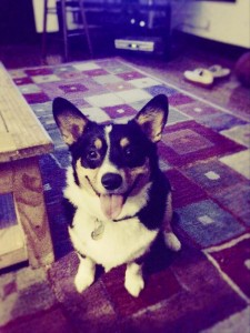 Charlie the Corgi, Pembroke Welsh Corgi