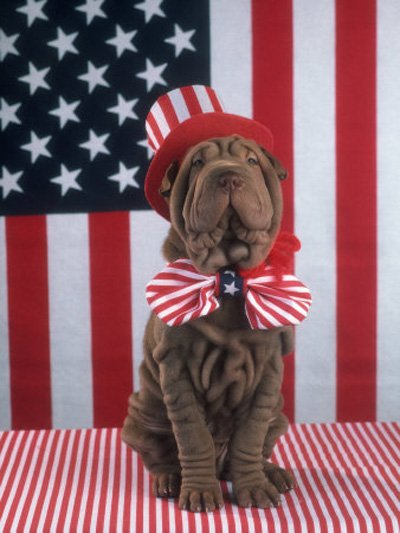 patriotic dog with wrinkles