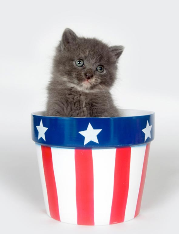 kitten in a flag cup