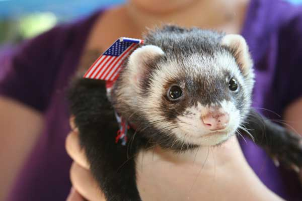 Ferret with American flag