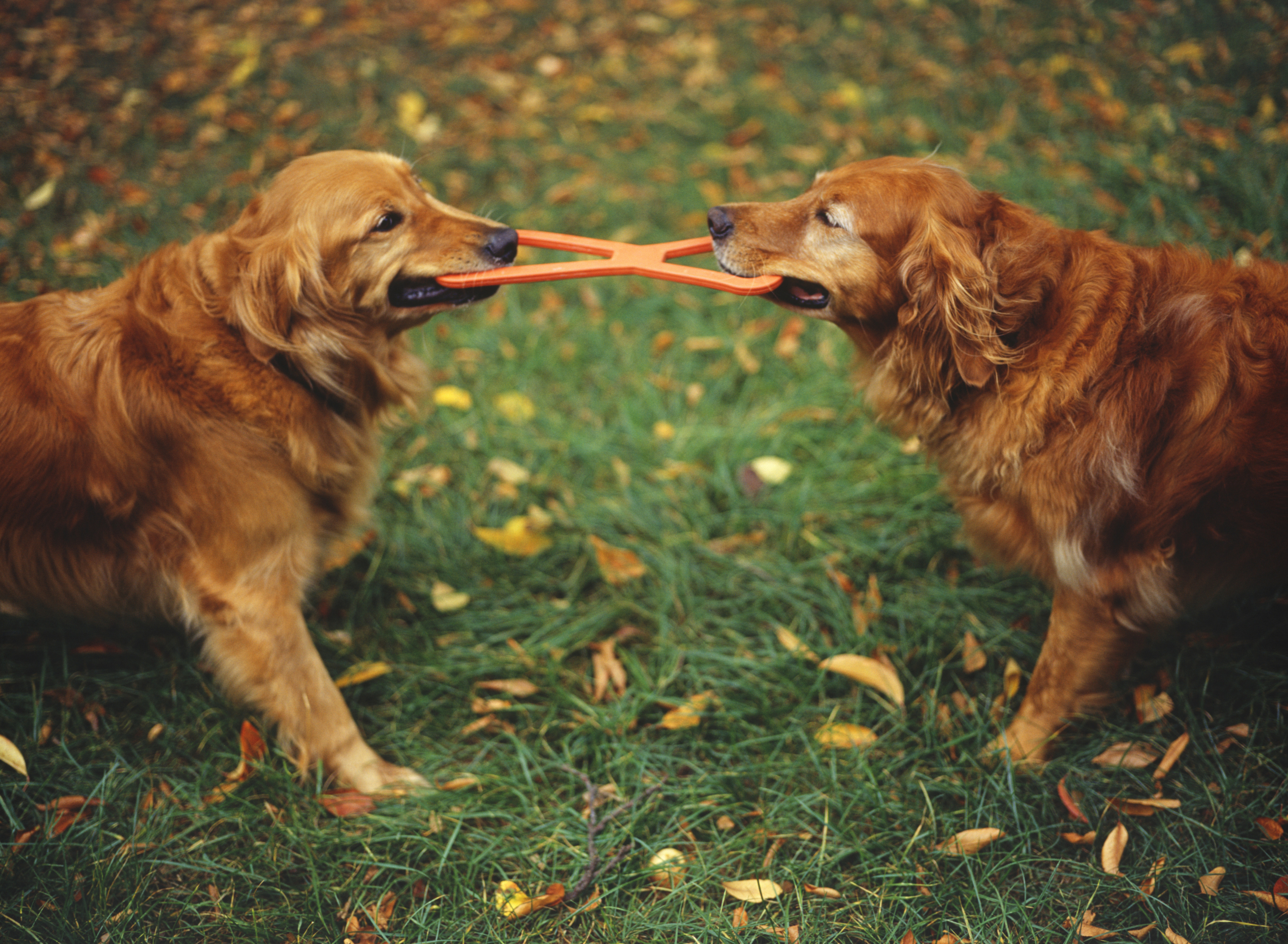 Two Dogs Fighting Over Toy