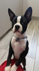 Lottie the Boston Terrier