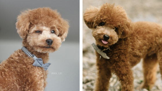 Andrew the Red Toy Poodle