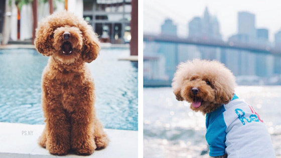fluff the dog, ps.ny instagram
