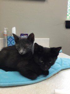 new kittens sunset vet clinic