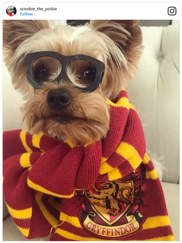 Dog Dressed As Hairy Potter