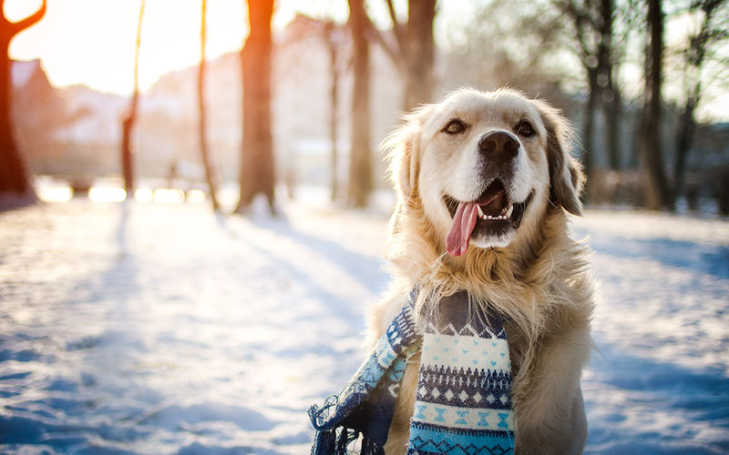 Dog With Scarf in Snow