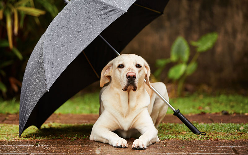 Dog Under Umbrella in a Rainstorm