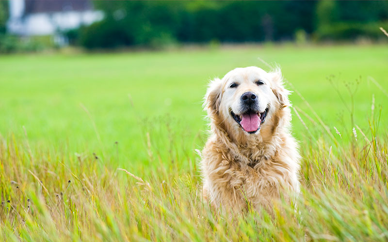 Golden Retriever in a Field