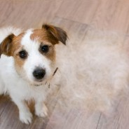 Ask the Vet: Why Does My Dog Shed?