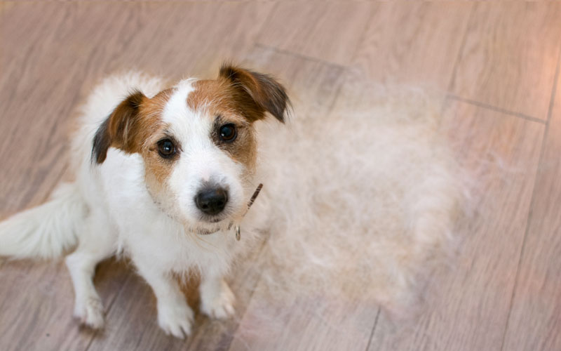 Jack Russell Shedding on Floor