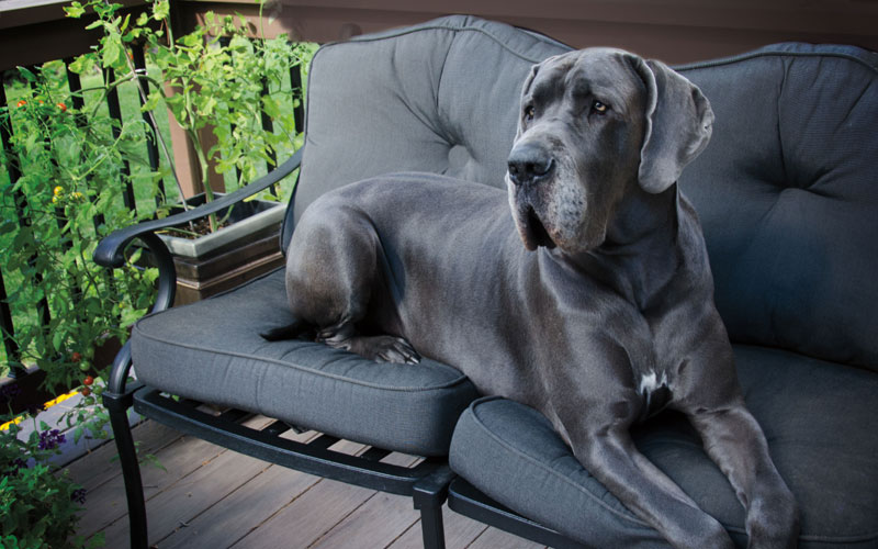 Great Dane on a Couch