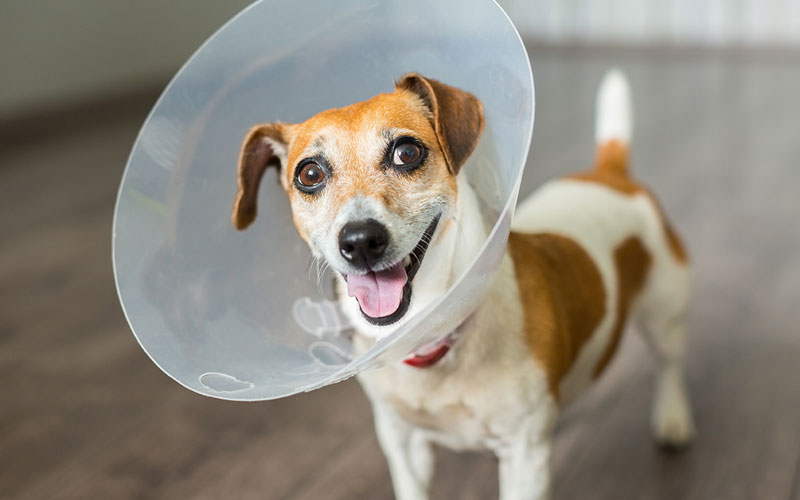 Jack Russell Terrier in a Cone