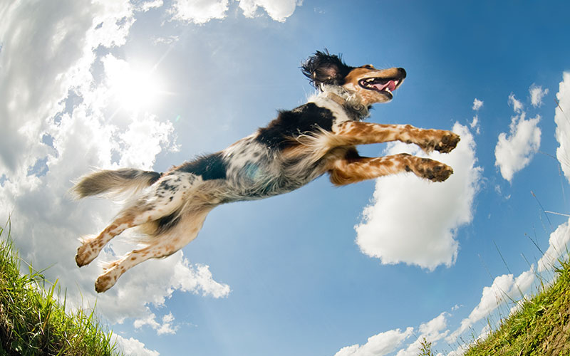 Dog Jumping into the Sky