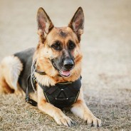 Memorial Day: Remembering All Who Have Served, Including Military Dogs