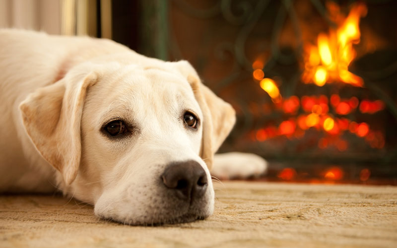 Labrador Retriever Next to a Fireplace_800x500