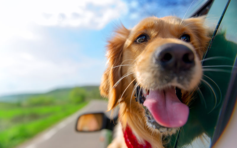 Golden Retriever on a Road Trip with Head Out the Window