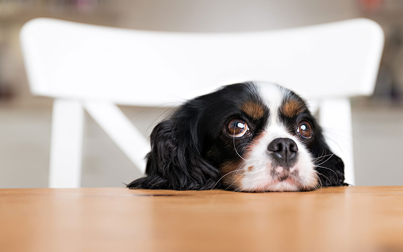 Spaniel Begging at the Table