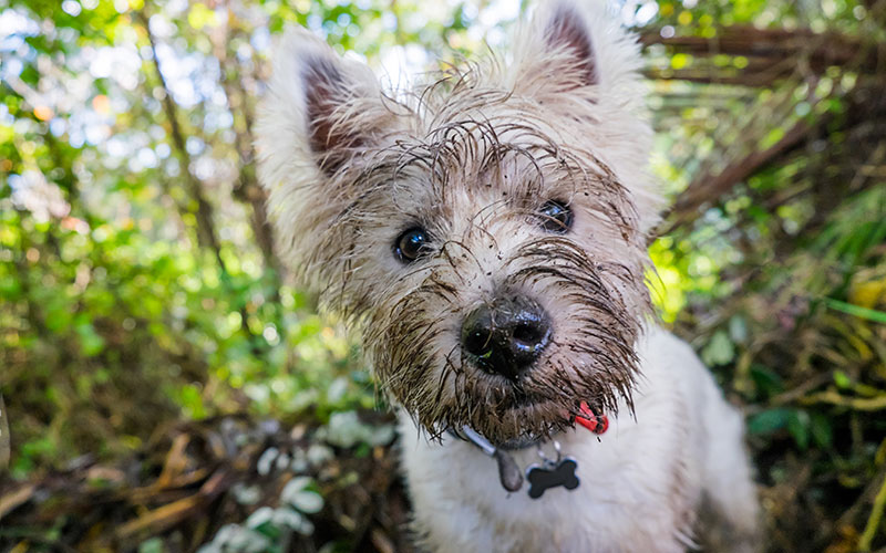 West Highland Terrier Westie Dog With Muddy Face