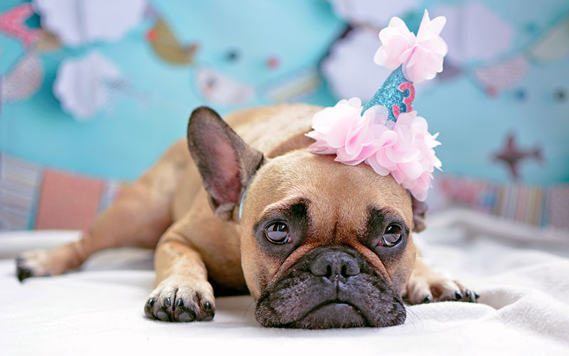 French Bulldog Birthday