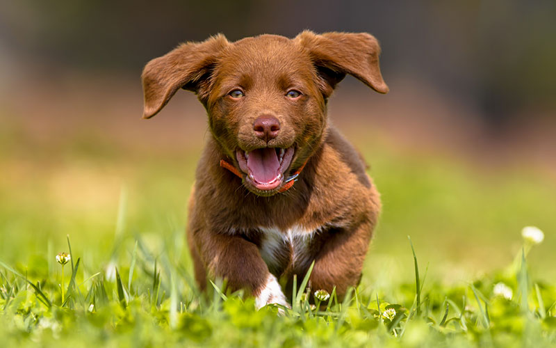 Labrador Retriever Puppy Running in a Field