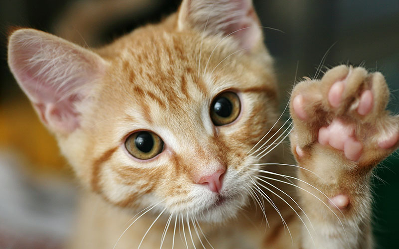 Cat Holding Up Paw
